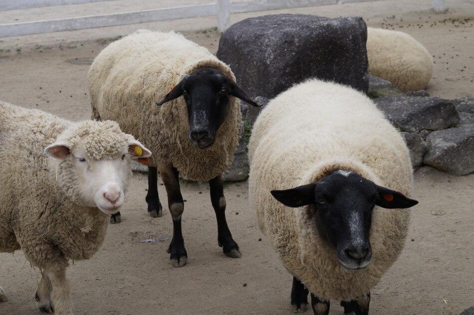 福岡 動物園 もーもーらんど ひつじ 羊
