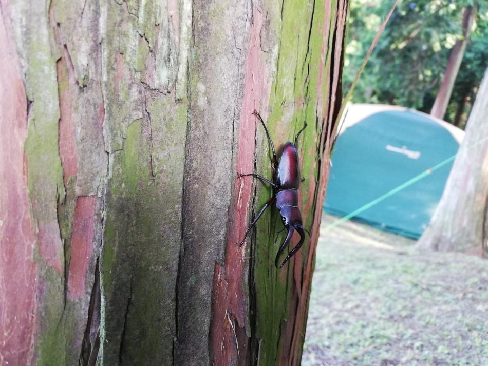 クワガタ おすすめキャンプサイトの木